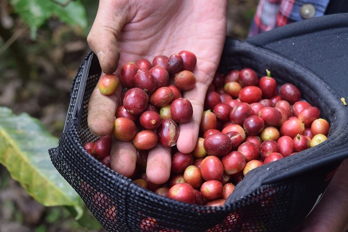 Is Coffee A Vegetable Or Fruit - handpicked coffee cherries placed in a cap
