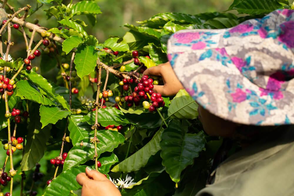 Coffee farmer picking ripe robusta coffee berries for harvesting