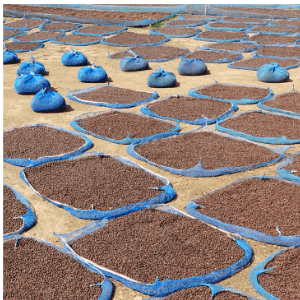 Coffee beans being dried.