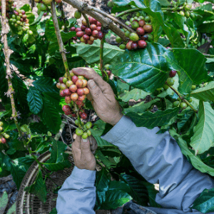 A person holding coffee beans on a coffee plant.