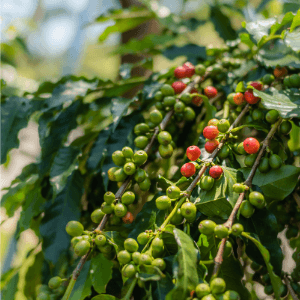 Coffee cherries on a plant.