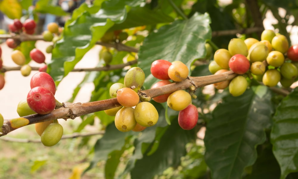 A close up of ripe fruit on a coffee plant.
