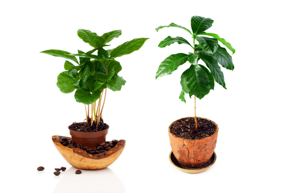Best soil for coffee plants
