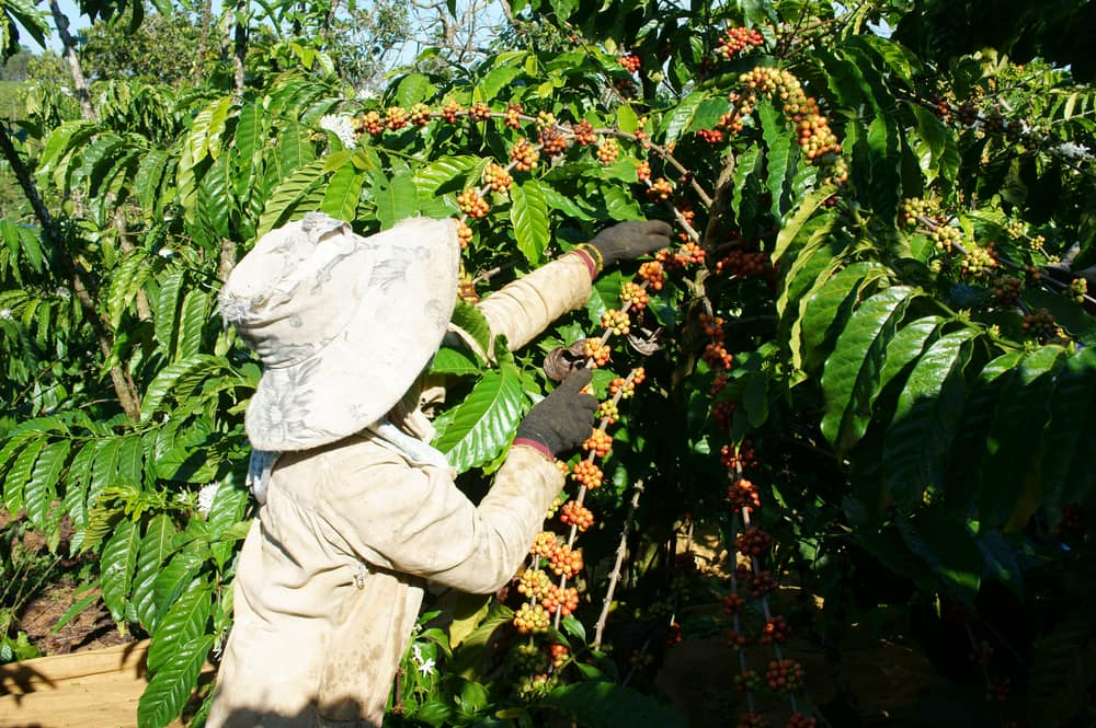 Coffee Grow Best