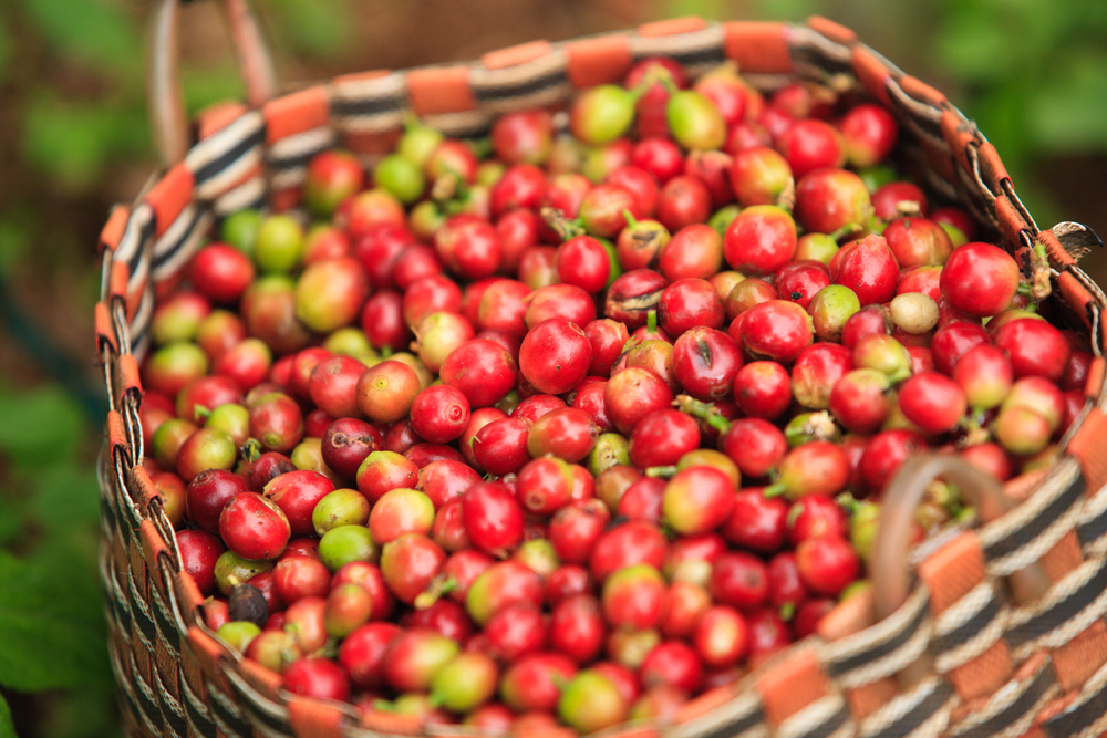 ripe Arabica coffee cherries in a large basket