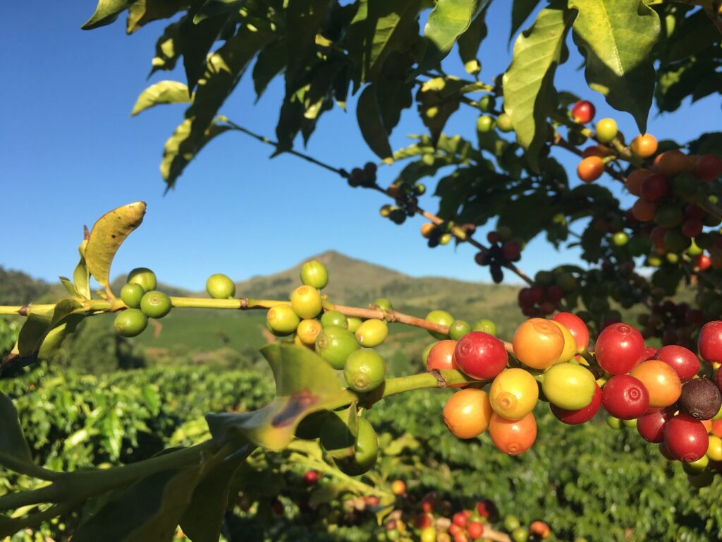 coffee cherries in a coffee tree