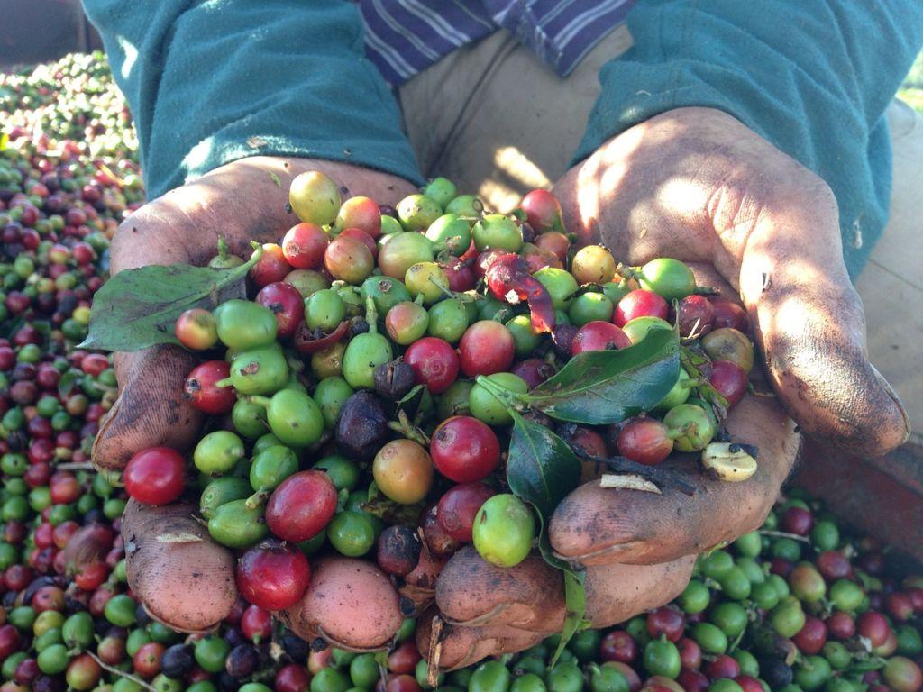 coffee cherries harvest held by two hands