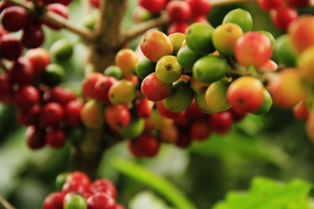 coffee cherries from a coffee plantation