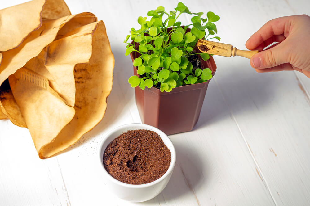 used coffee grounds added as fertilizer to a potted plant - Are Used Coffee Grounds Good For Plants