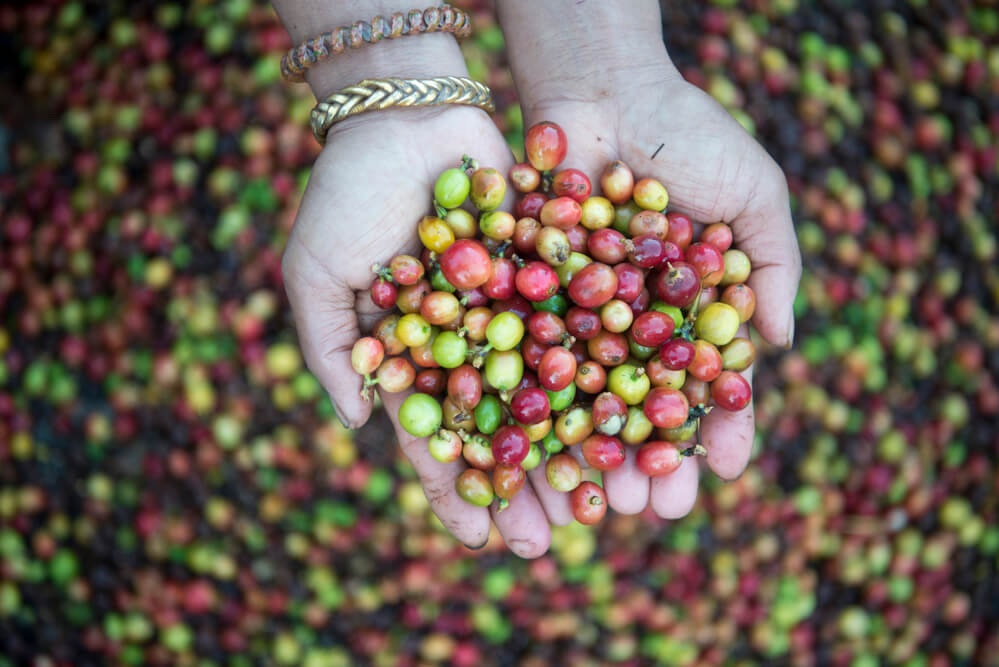 a hand holding coffee beans - countries coffee production