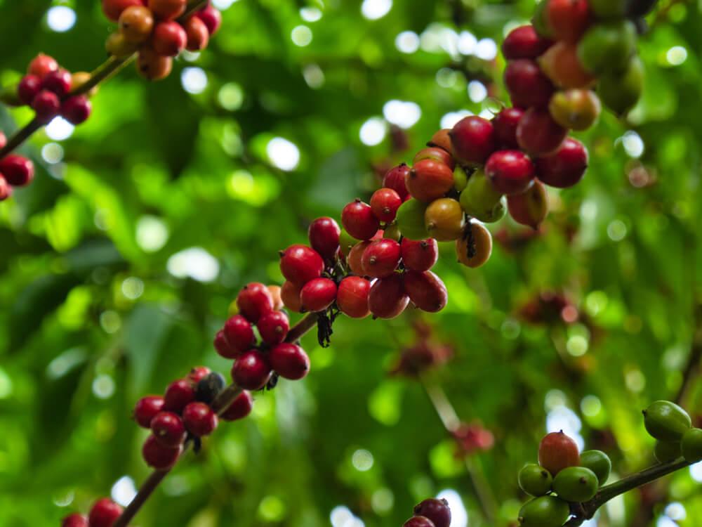 kona-coffee-beans