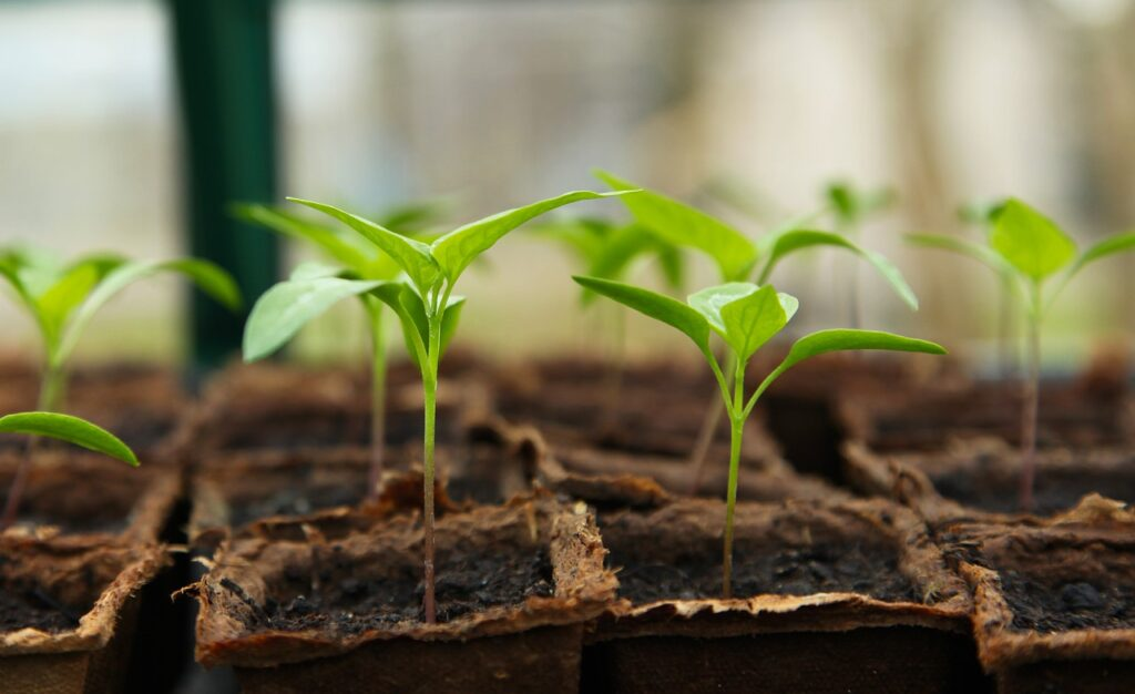 newly sprout plants in a garden plot